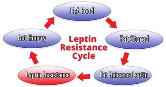 leptin resistance cycle